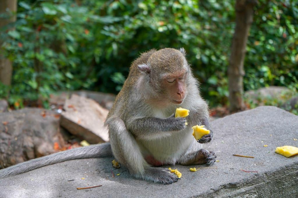 Ananasta nauttiva apina